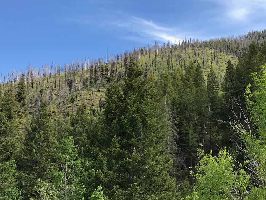 burned trees in the central Rocky Mountain forest