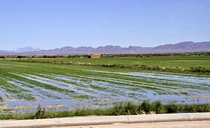 flood irrigated fields