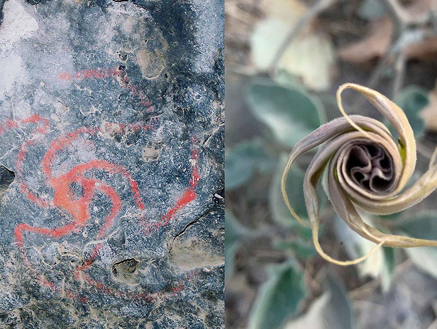 Datura rock art drawing next to Datura flower