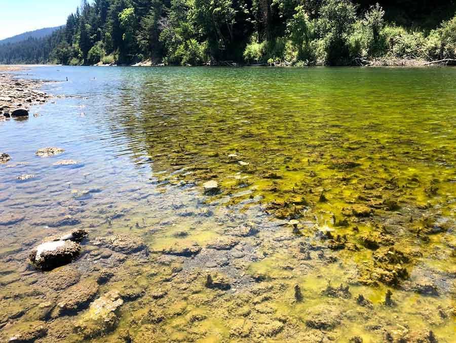 Algae in the eel river.