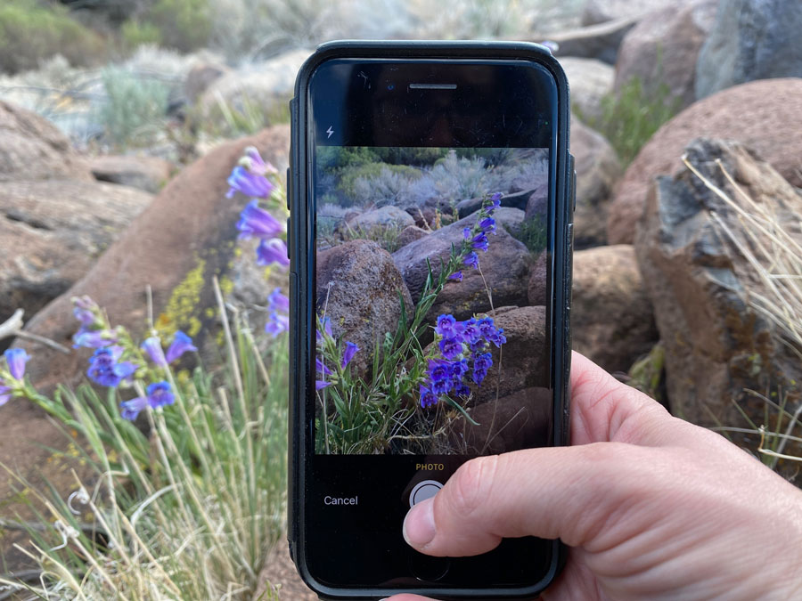 A hand holds an iPhone taking a. photo of a flower.