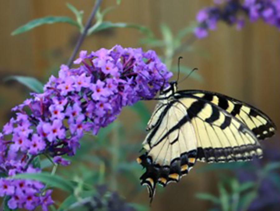 Butterfly on purple flowers.