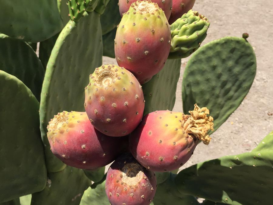 Fruit growing on an opuntia ficus indica plant.