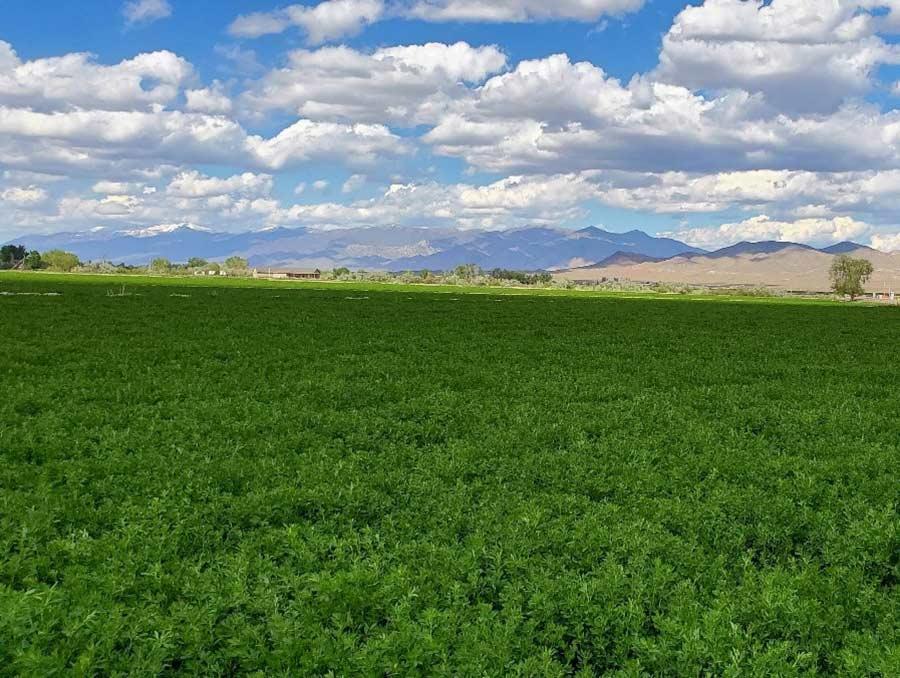 Field of alfalfa plants.